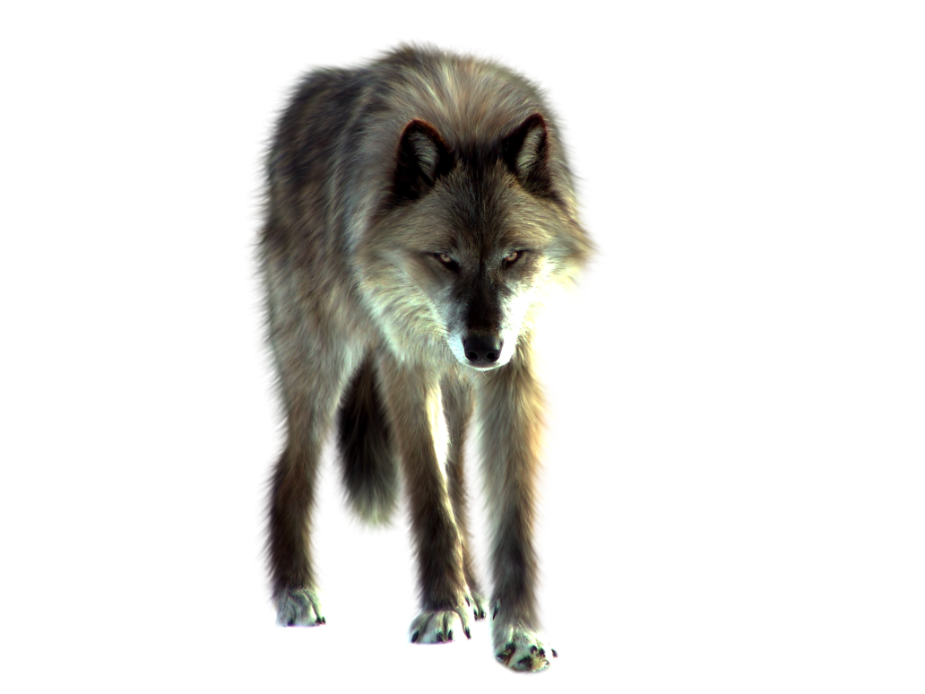 Png image free picture. Wolf clipart realistic
