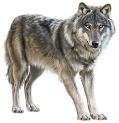 Wolf clipart realistic.  best animals clip