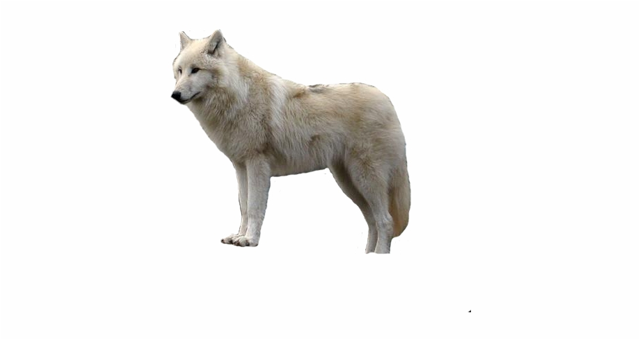 Wolf clipart snow. Gray jumping arctic white