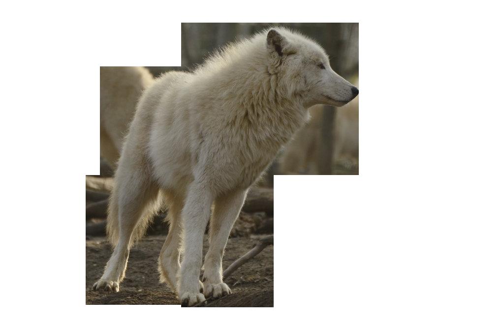Animals png transparent images. Wolf clipart translucent