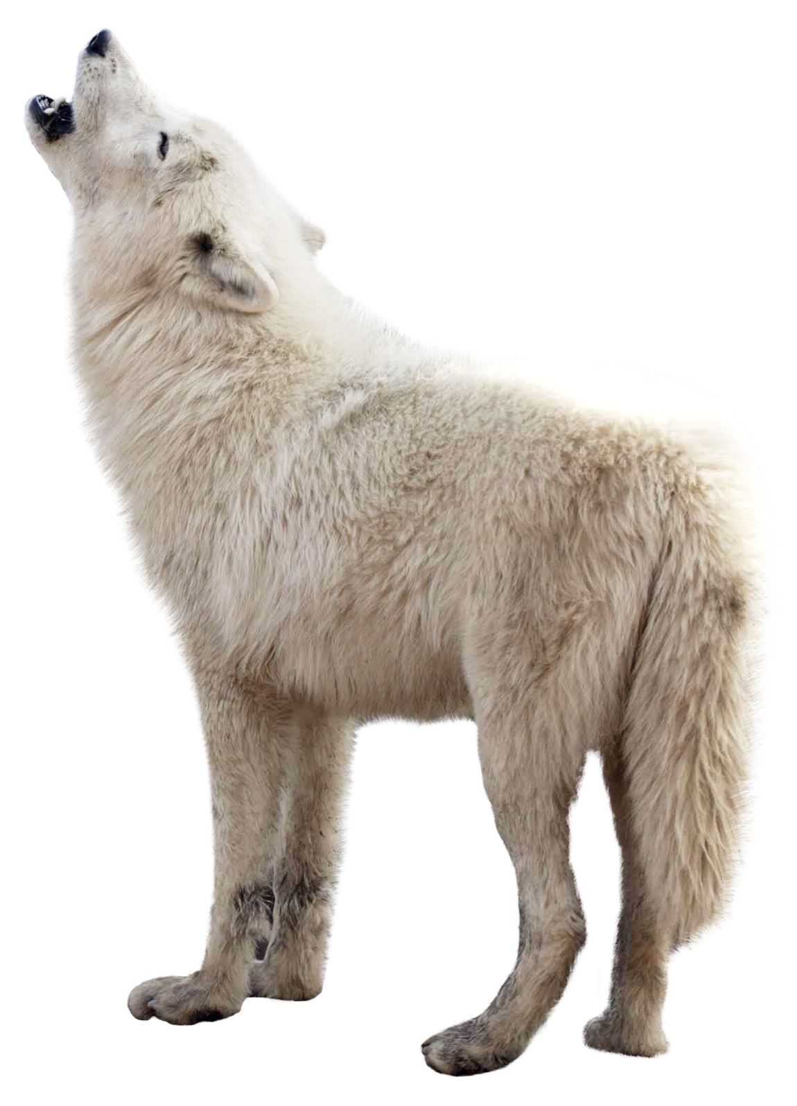Wolf clipart transparent background. Png image purepng free