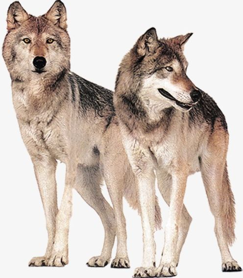 Png animal field free. Wolf clipart two wolf