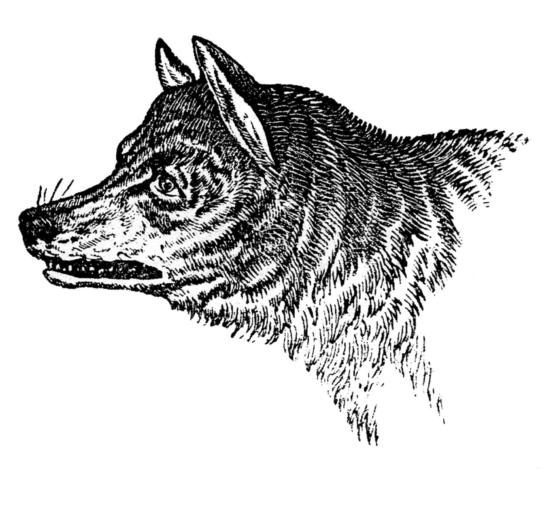Wolves clipart nature. Vintage clip art wolf