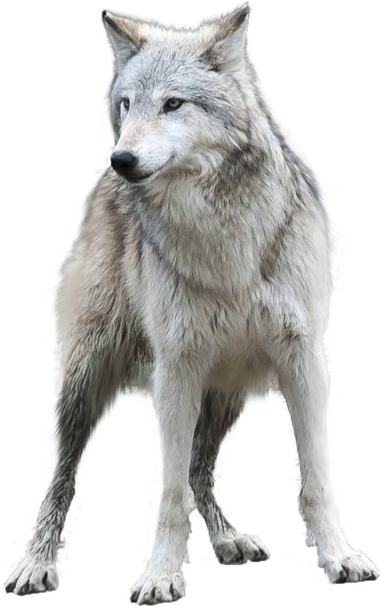 Gray hd transparent pluspng. Wolf png images