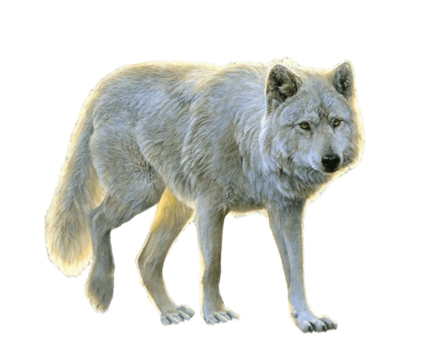 Wolf png images. White free toppng transparent