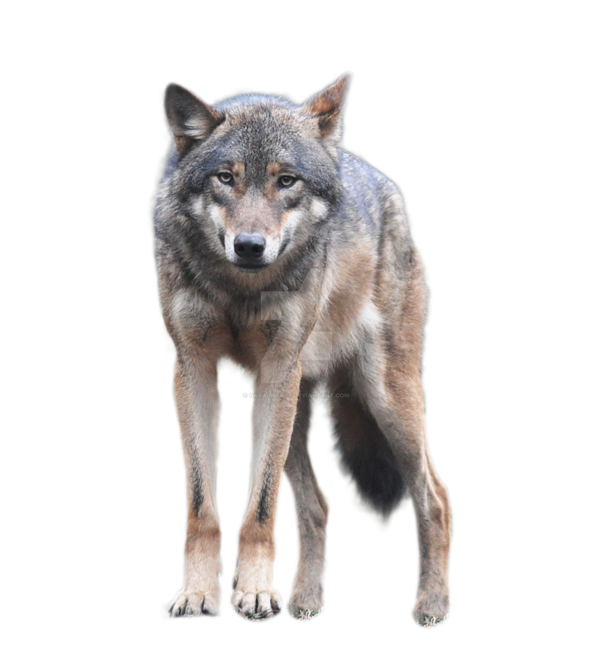 Wolf png images. By gayaliberty on deviantart