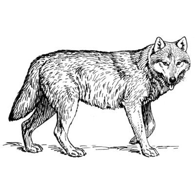Wolves clipart. Sketch wolf pencil and