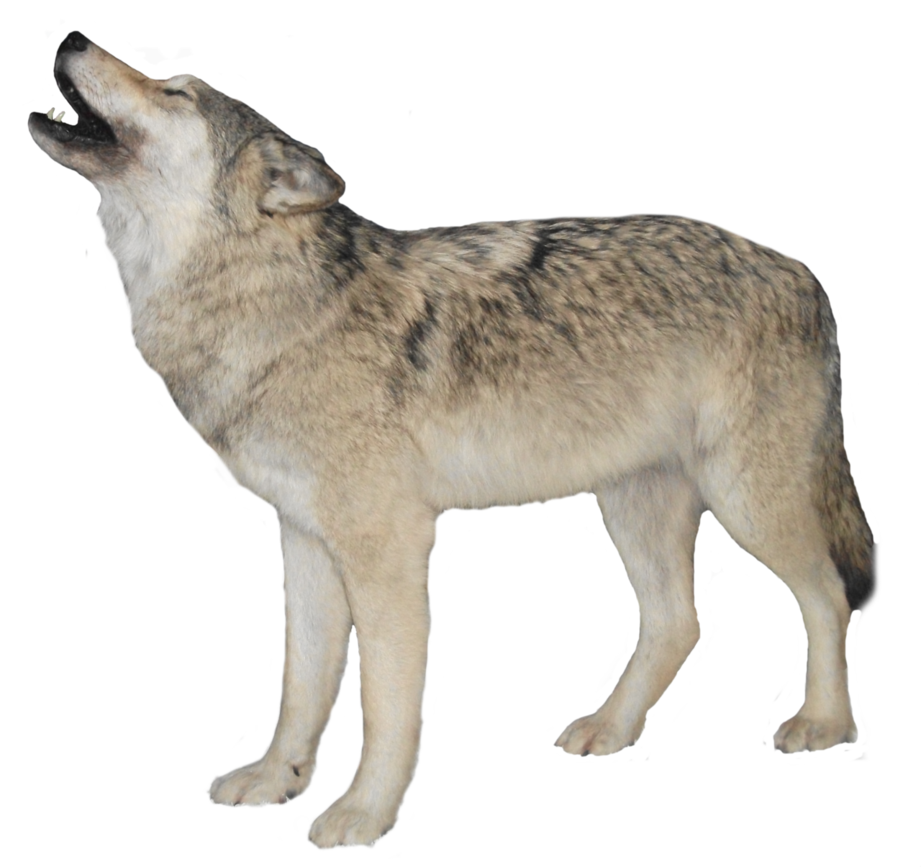 Wolf clipart clear background. White transparent png mart