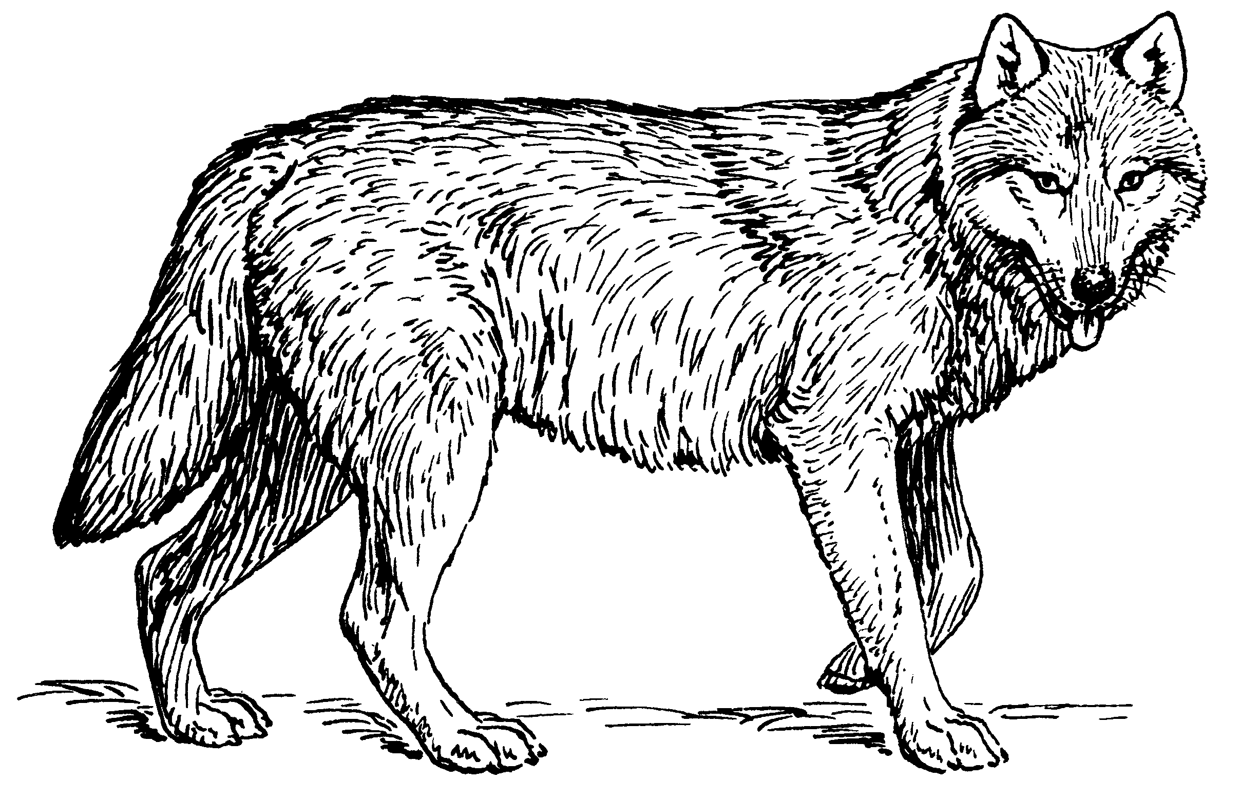File wolf psf cleaned. Wolves clipart coyote