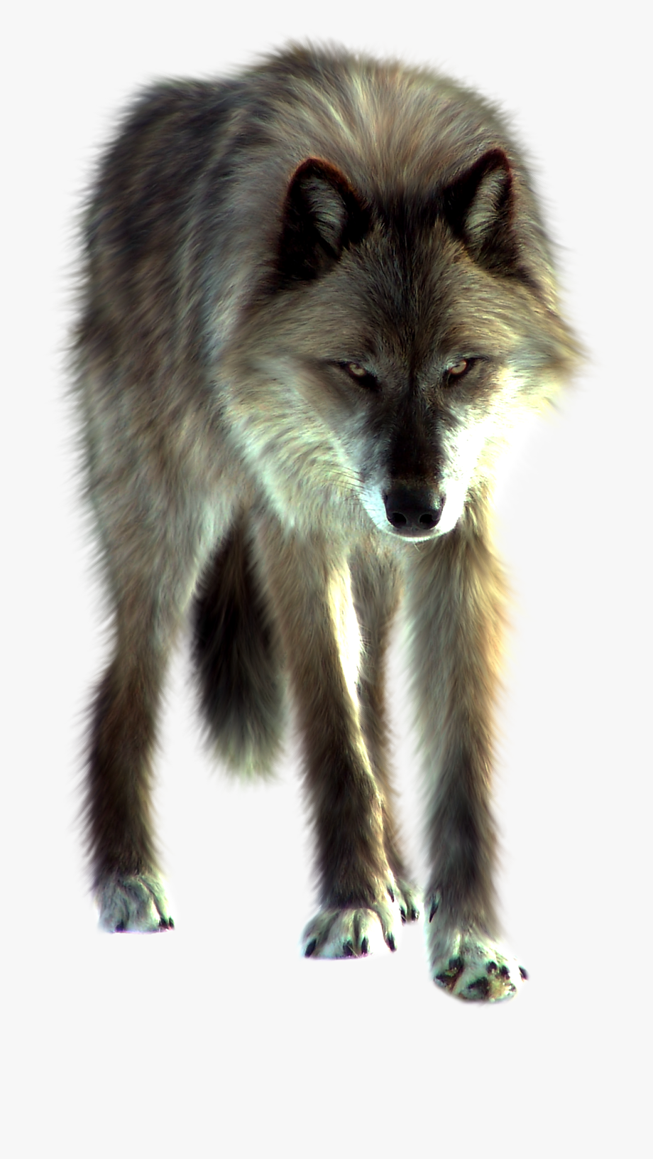 White fang free . Wolves clipart front