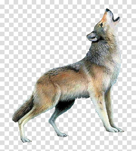 Wolves clipart grey fox. Wolf resources transparent background
