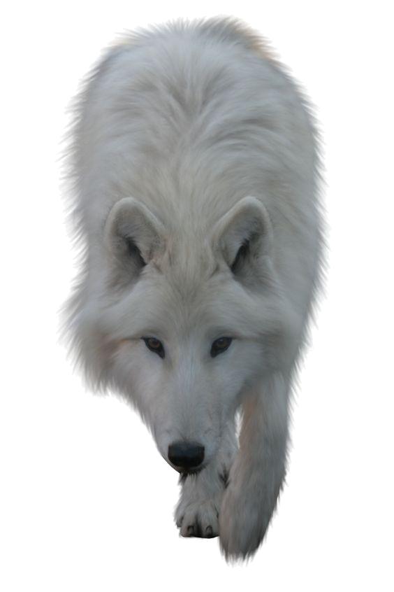 Wolves clipart snow. Arctic wolf clip art