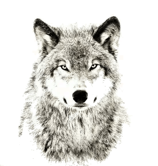 Wolf animals png transparent. Wolves clipart translucent
