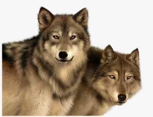 Png animals carnivores . Wolves clipart two wolf