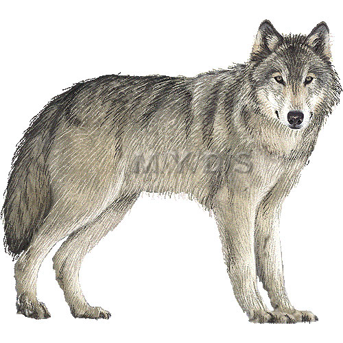 Wolf clipart gray wolf. Wolves free cliparts