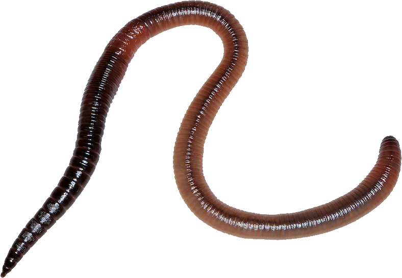 Worm clipart annelida. Earthworm png