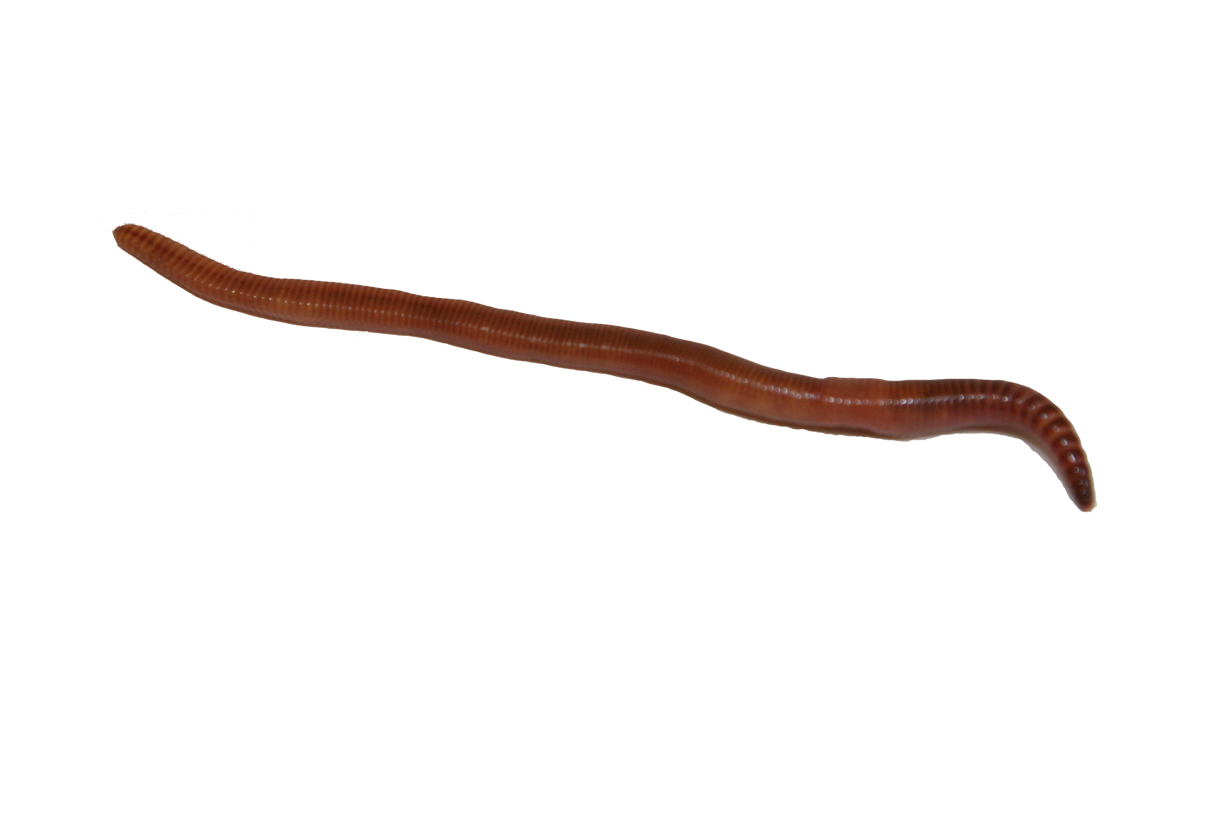 X free clip art. Worm clipart annelida