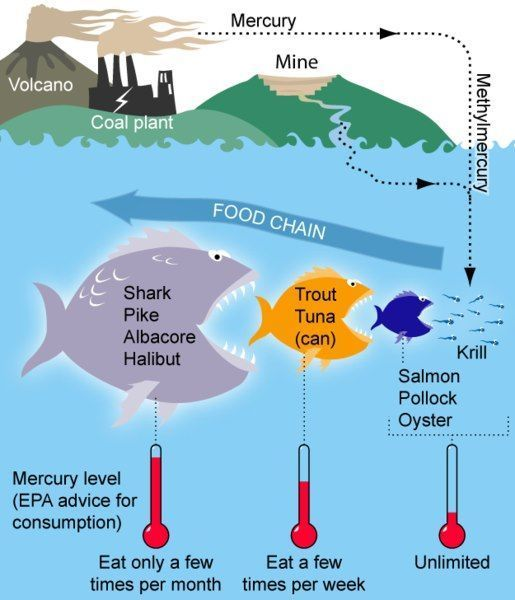 And bioamplification of mercury. Worm clipart bioaccumulation