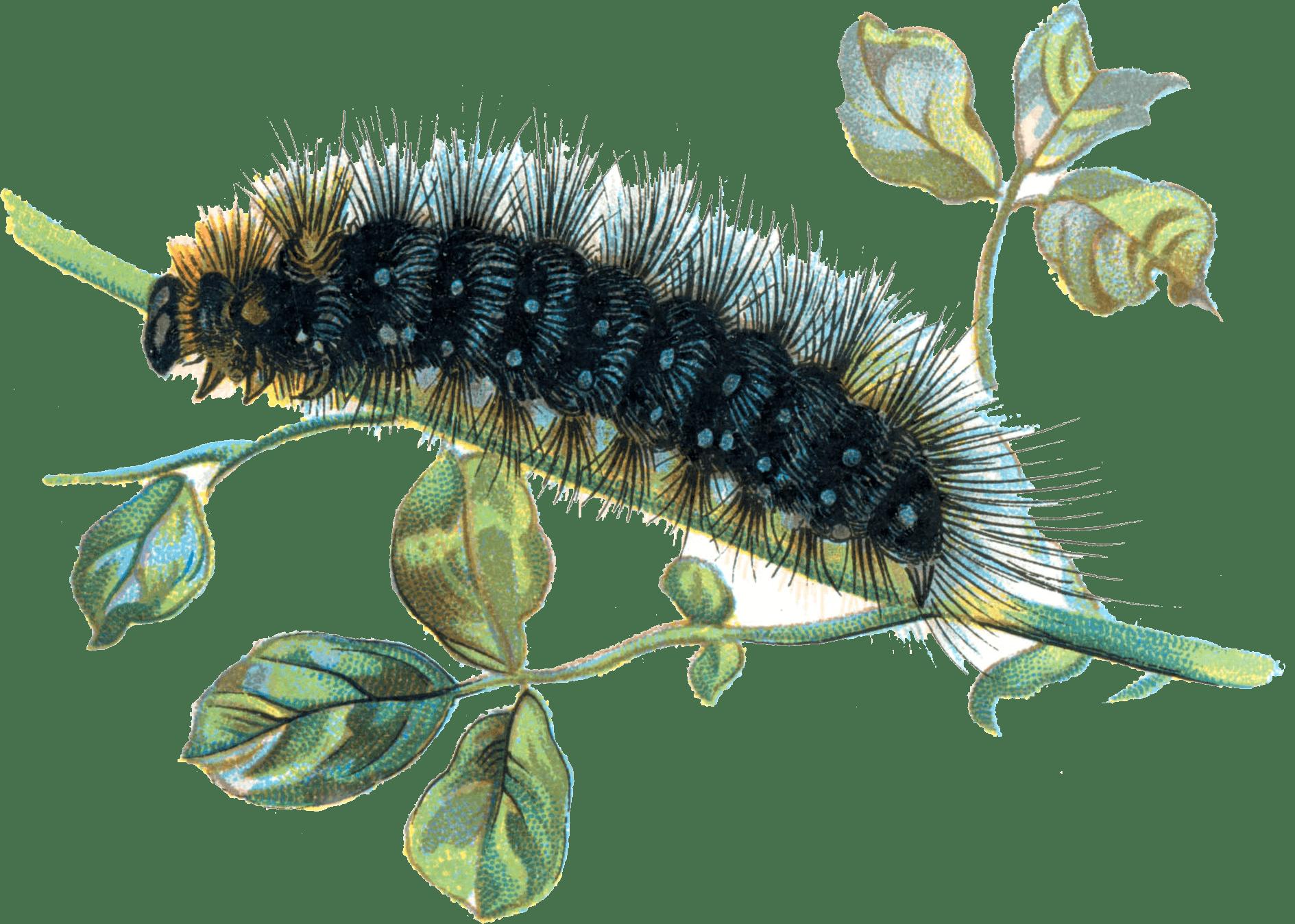 Worm clipart caterpillar number. Caterpillars transparent png images