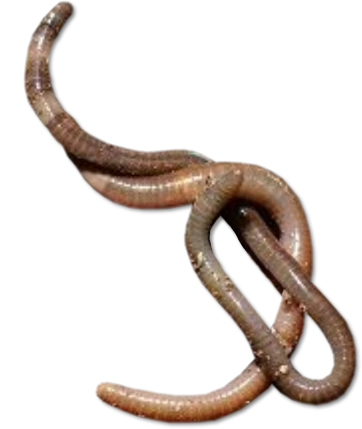 Worm clipart earthwarm. Worms png transparent images