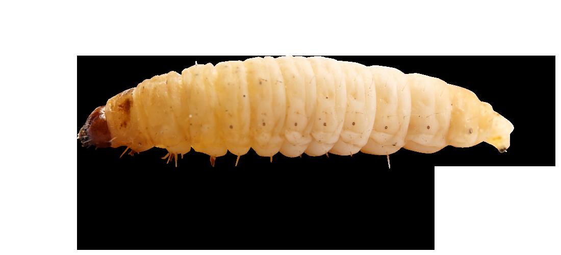 Worm clipart maggot. Maggots png images free
