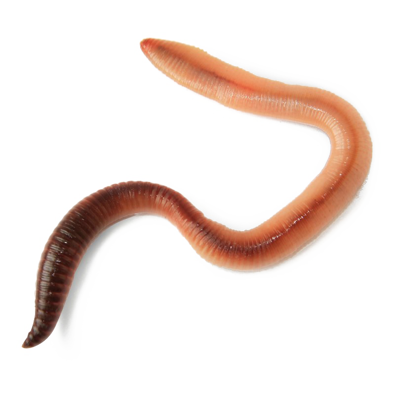 Worms png images transparent. Worm clipart realistic