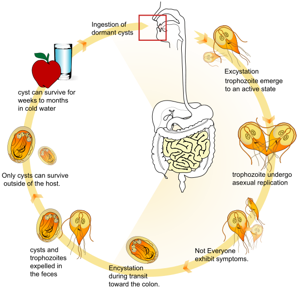 File giardia life cycle. Worm clipart roundworm