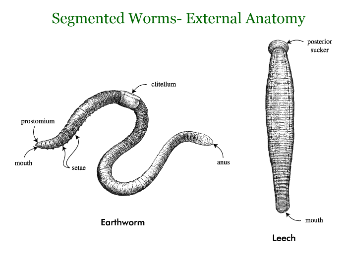 Worm clipart soil organism. Segmented worms google search