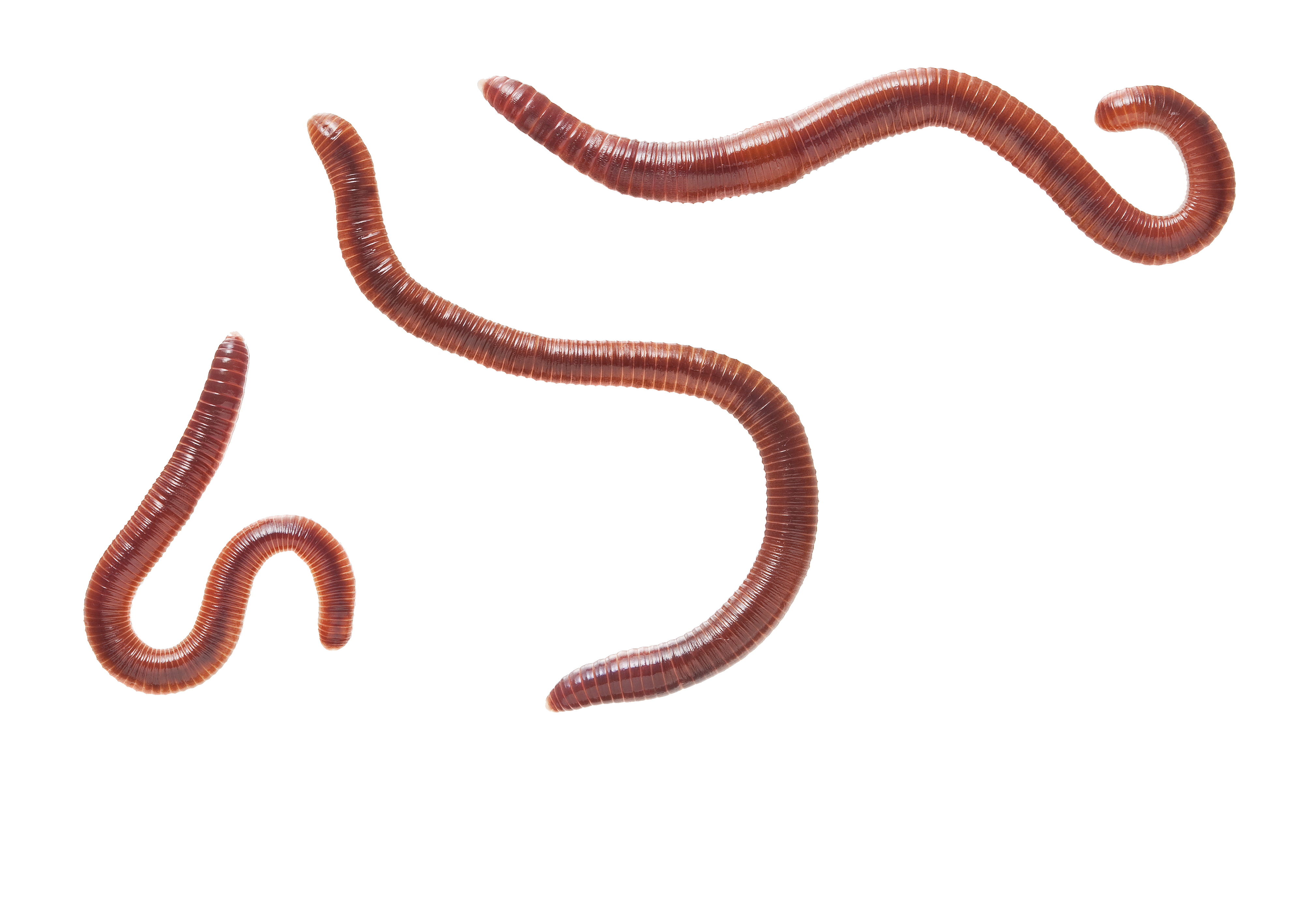 Earthworm png image with. Worm clipart transparent background