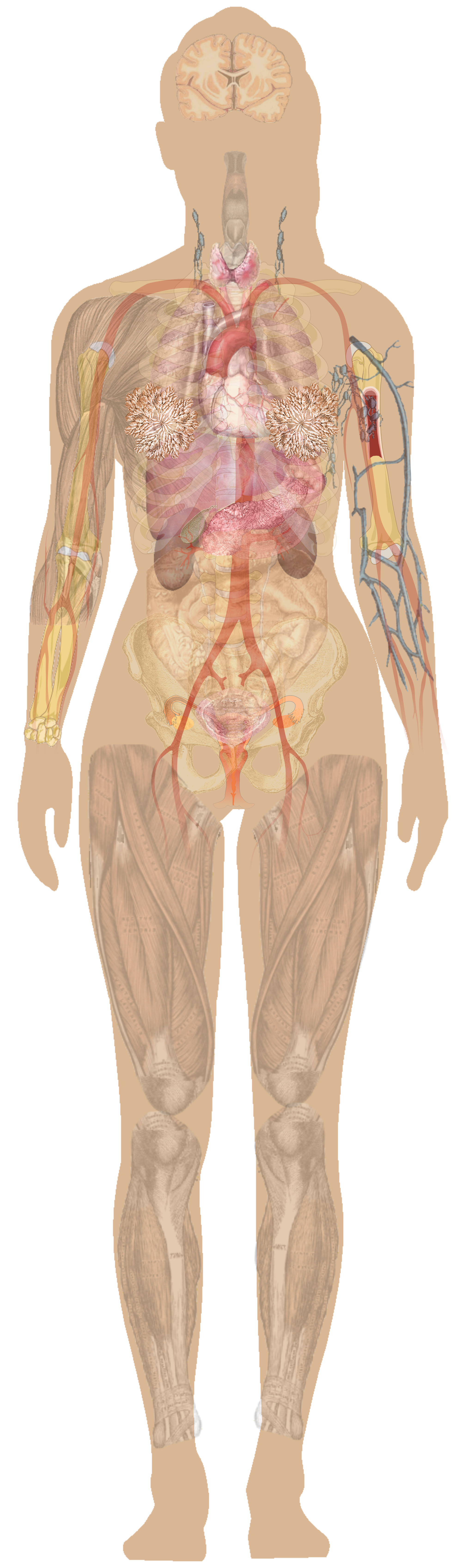 Chest anatomy diagram human. Xray clipart female