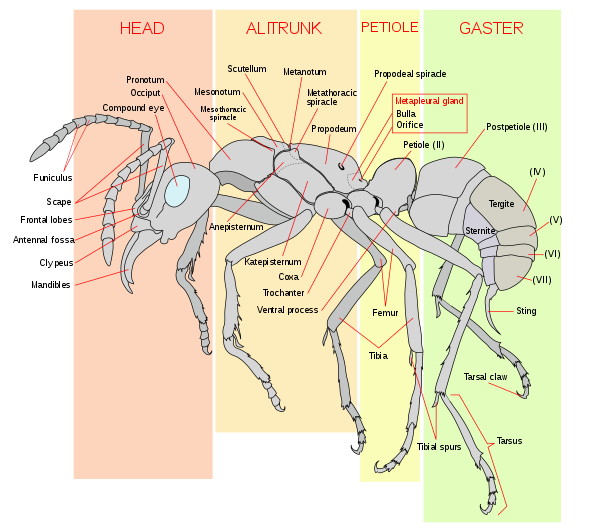 Xray clipart thorax. Wikiwand in the worker