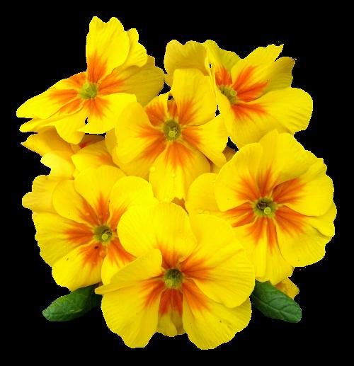 Primrose image pngpix. Yellow flower png