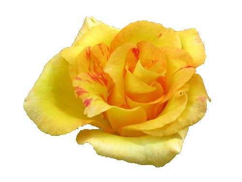 Rose flowers pic . Yellow flower png