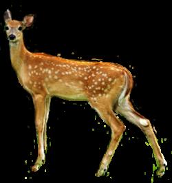 Deer animal clip art   Clipart Panda - Free Clipart Images