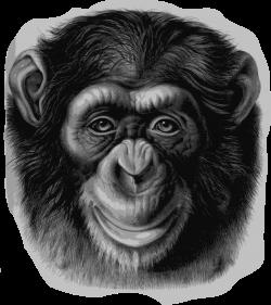 Clipart - Chimpanzee Head