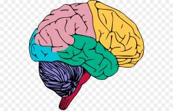 Human brain Clip art - Myth Cliparts png download - 600*576 - Free ...