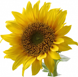 Sunflower Clip Art | ... Resolution graphics and clip art: Free ...