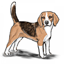 beagle standing - /animals/dogs/B/beagle/beagle_standing.png.html
