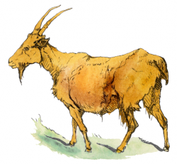 Free Bearded Goat Clipart, 1 page of Public Domain Clip Art