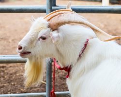 Here Is a List of 10 Extremely Good Goat Beards - Modern Farmer