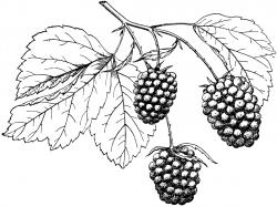 Berries Drawing at GetDrawings.com | Free for personal use Berries ...
