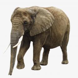 Big Old African Elephant Ears, African Elephant, Big Ear, Old ...
