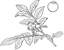 Bush Blueberry | ClipArt ETC