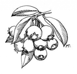 Blueberries coloring page from Blueberry category. Select from 24104 ...