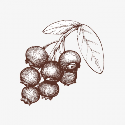 Sketch Of Blueberries, Blueberry, Sketch, Fruit PNG Image and ...