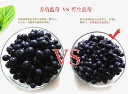 Blueberry Picture, Two Blueberries, Breeding Blueberries, Wild ...