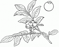 Blueberry Drawing at GetDrawings.com | Free for personal use ...