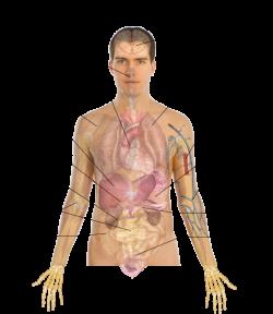 Human Body Anatomy Basics Clip Art at Clker.com - vector clip art ...