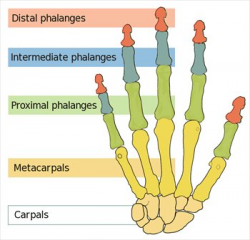 Free Human-hand-bones-simple Clipart - Free Clipart Graphics, Images ...