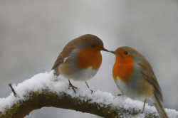29 best Robin Red-breast images on Pinterest   European robin ...